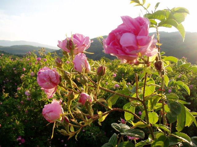 O Bulharsku a růžovém údolí